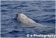 アカボウクジラ