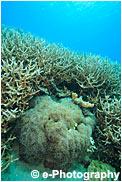 ナガレハナサンゴ