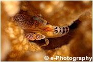 サンゴテッポウエビ
