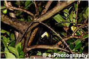 オガサワラオオコウモリ ( コオモリ )