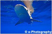 オグロメジロザメ グレイリーフシャーク