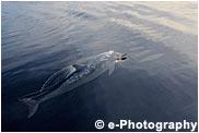 アルビノのハシナガイルカ