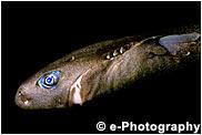 ツマリコビトザメ