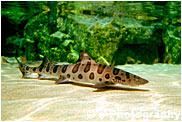 カリフォルニアドチザメ
