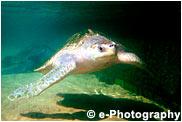 ヒメウミガメ