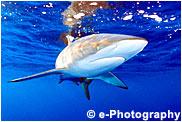 クロトガリザメ