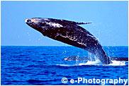ザトウクジラ 子供 breaching by mother wh