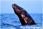 ザトウクジラ 子供 breaching at sunset