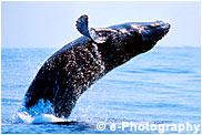 ザトウクジラ 子供 breaching
