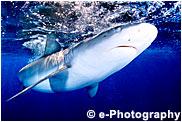 ガラパゴスザメ
