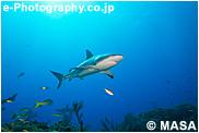 カリビアンリーフシャーク, ペレスメジロザメ